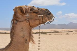 camel-903446_1280
